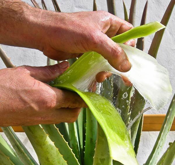 Metodos-de-produccion-Aloe-Vera