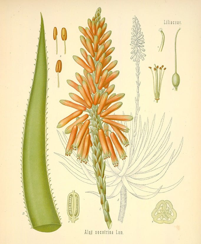 aloes027-l